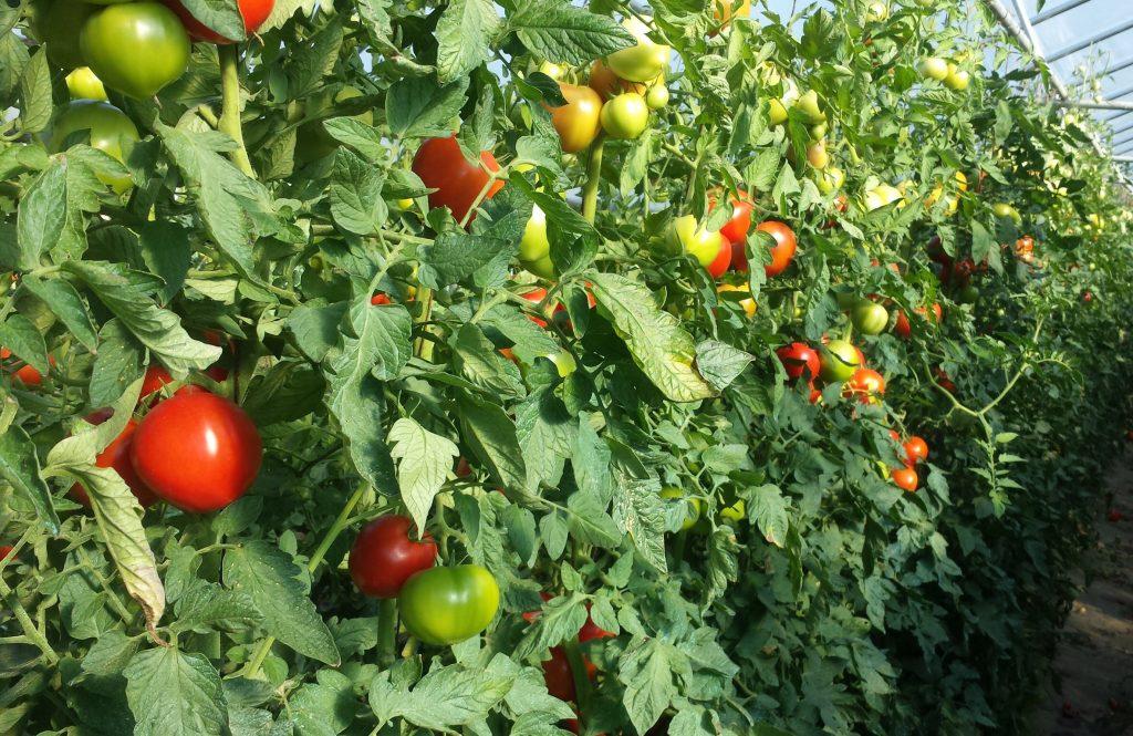 Dutchess Farm Tomatoes